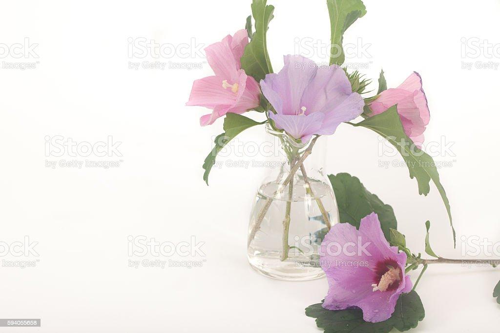 Bbird flowers, hibiscus syriacus stock photo