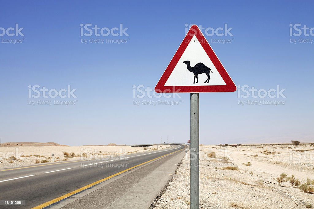 Be careful! Camels on the road. stock photo