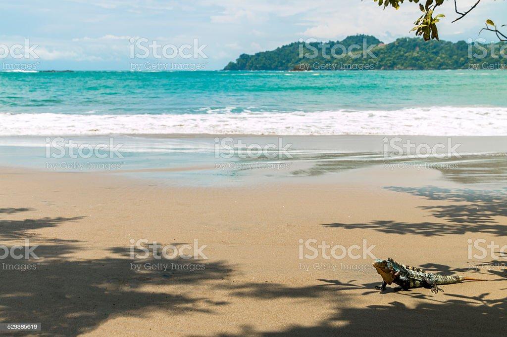 Beach and iguana stock photo