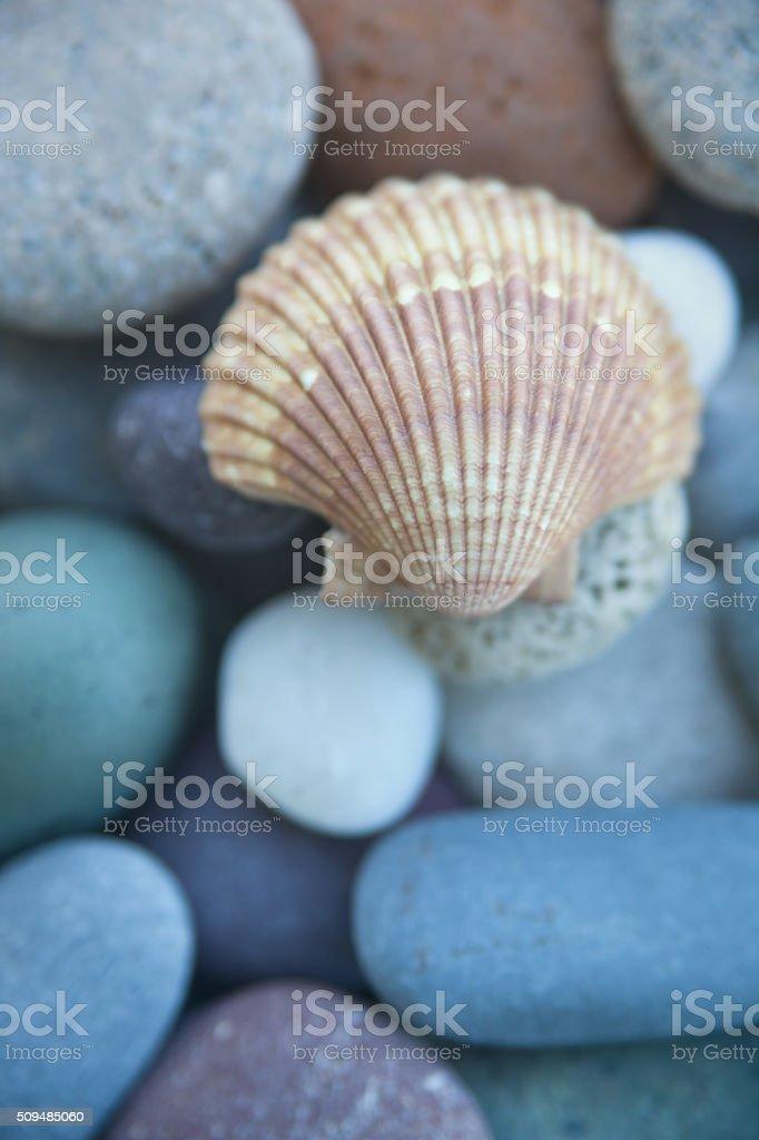 Beach Clam shell Seashell and Pebbles Close-up Still Life stock photo