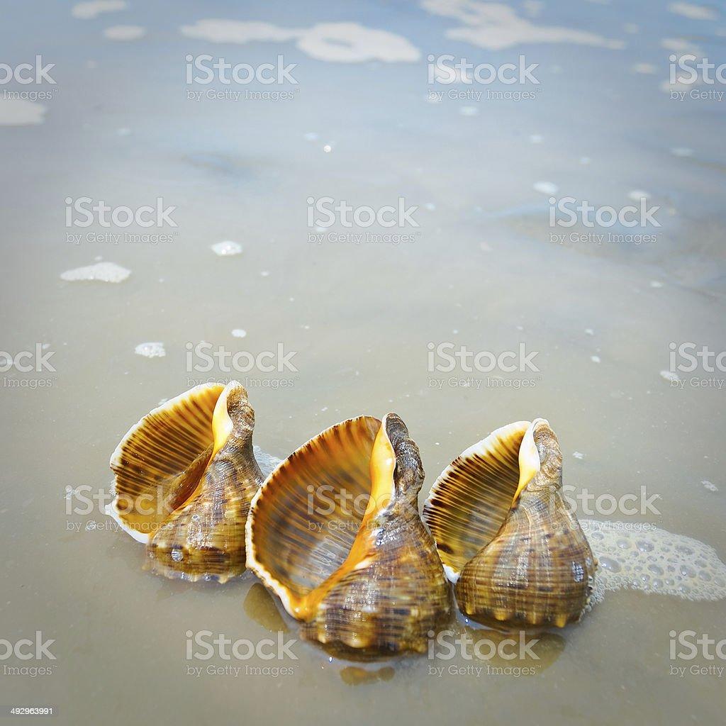 Beach Conch royalty-free stock photo
