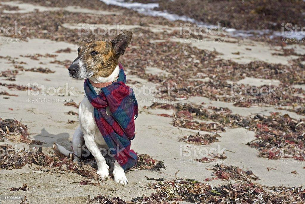 Beach Dog In Scarf stock photo