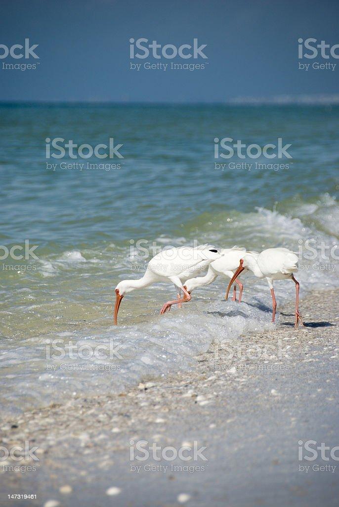 Beach Egrets stock photo