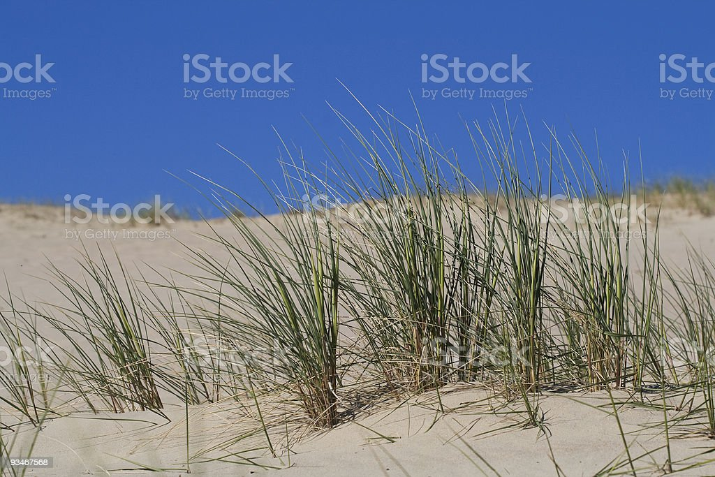 Beach Grass in sand dunes royalty-free stock photo