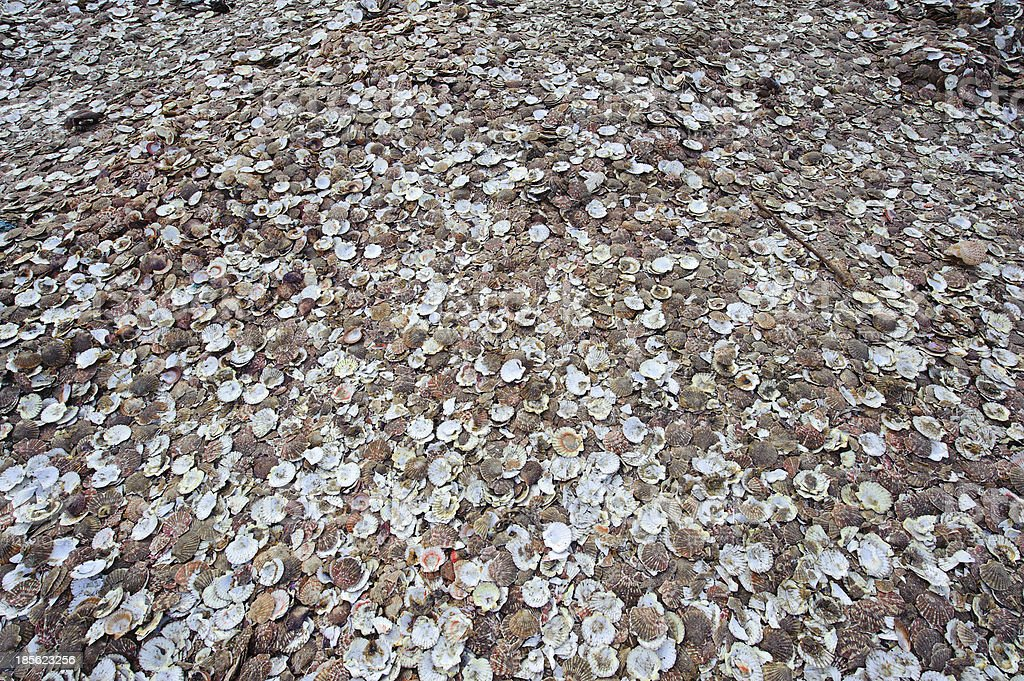 Beach littered with empty scallop shells stock photo