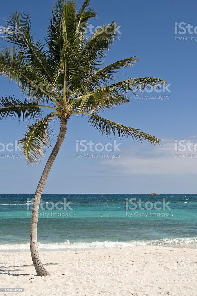 Beach Palm Tree royalty-free stock photo