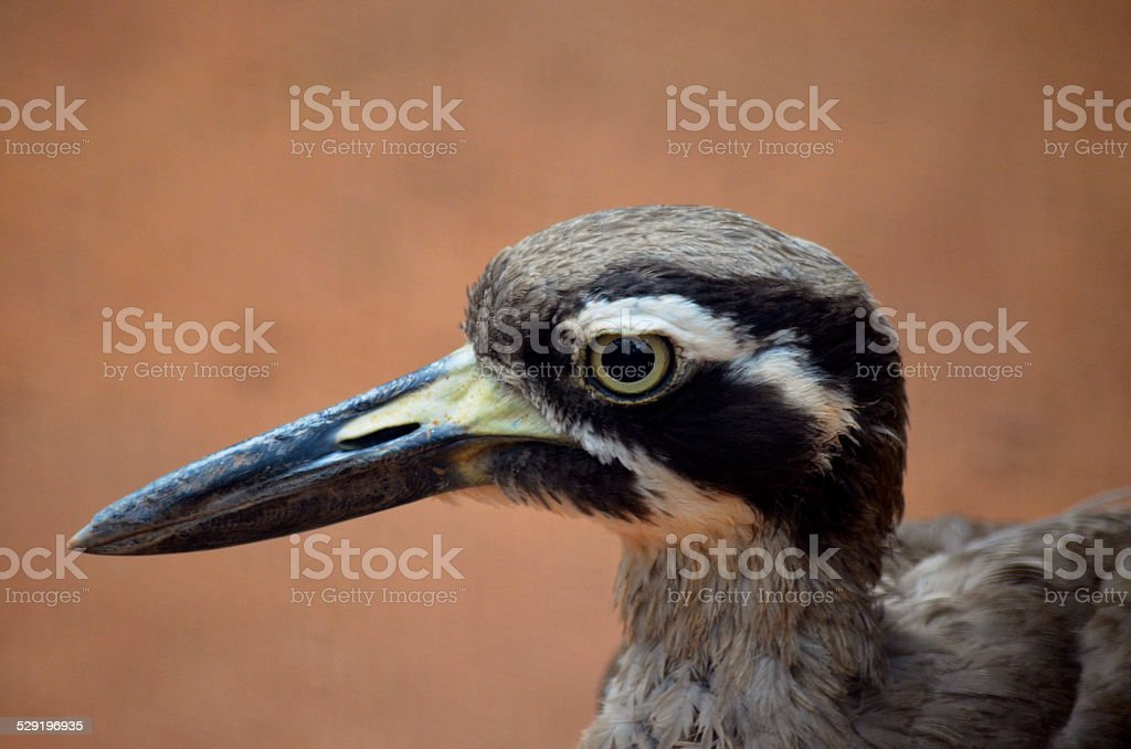 beach stone curlew stock photo