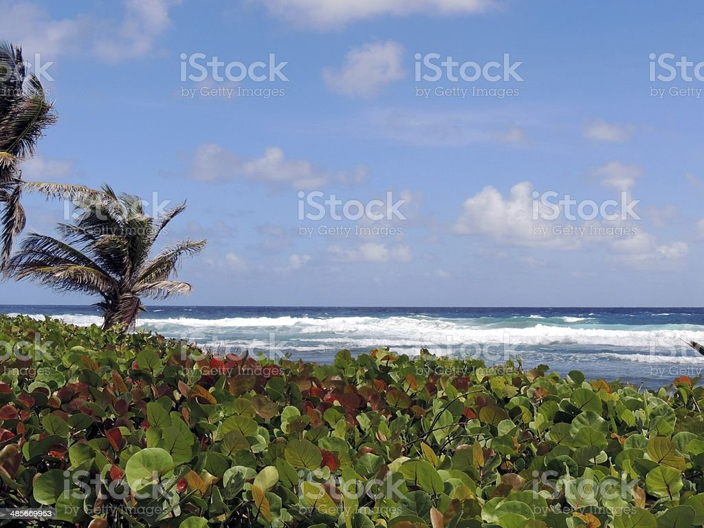 Beach with sea grape plants stock photo