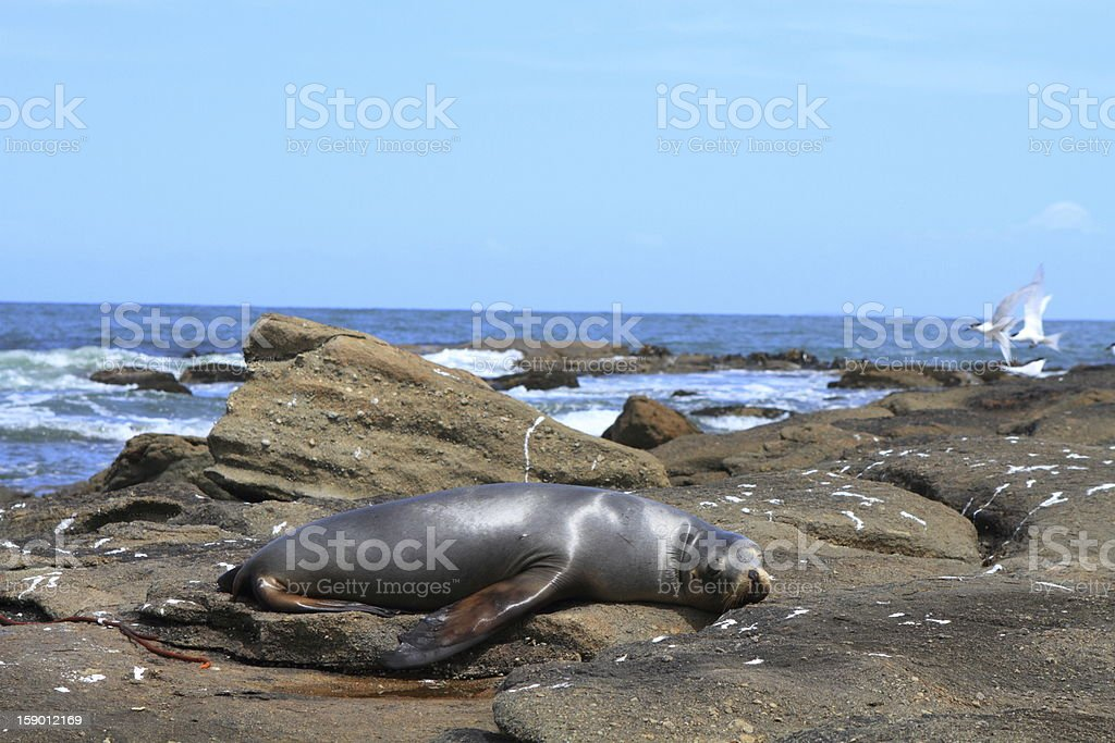 Beach with sea lion royalty-free stock photo