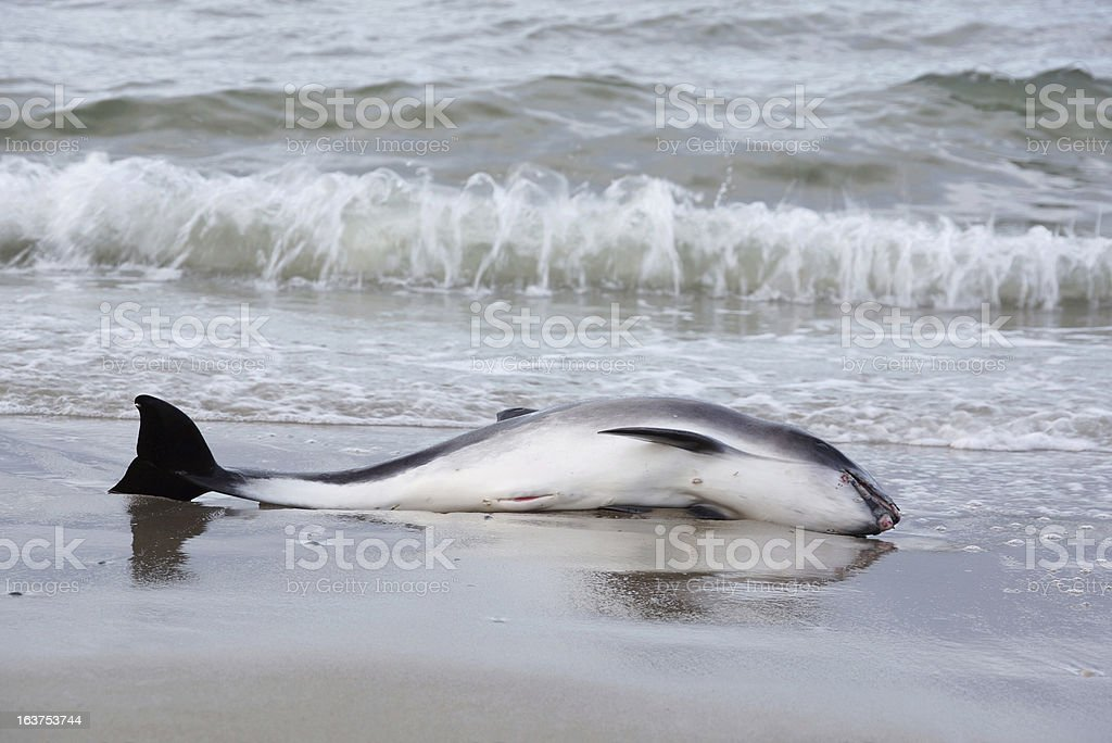 Beached Harbor Porpoise, small whale royalty-free stock photo