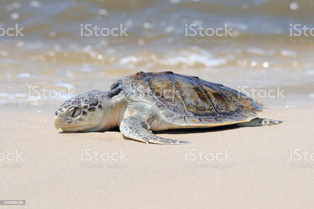 Beached Kemp's Ridley Sea Turtle stock photo