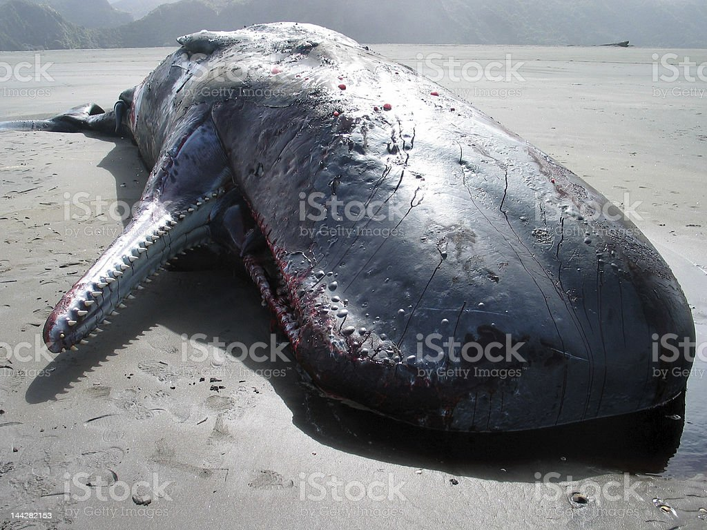 Beached sperm whale royalty-free stock photo