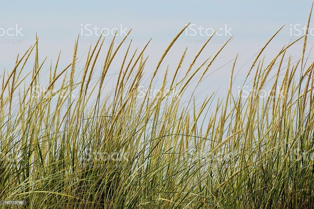 Beachgrass photo libre de droits