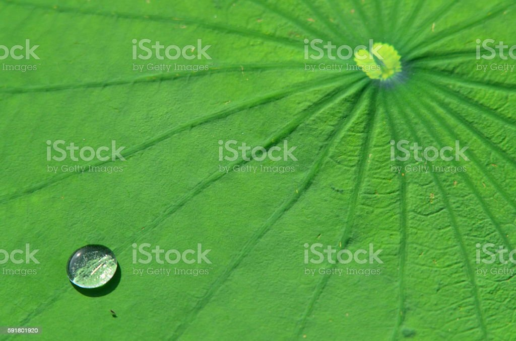 Bead of silvery water on lily pad leaf with lines stock photo