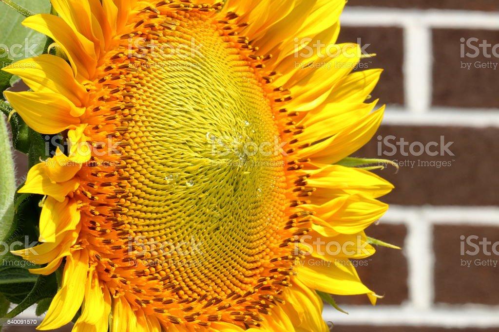 Beaded Sunflower stock photo