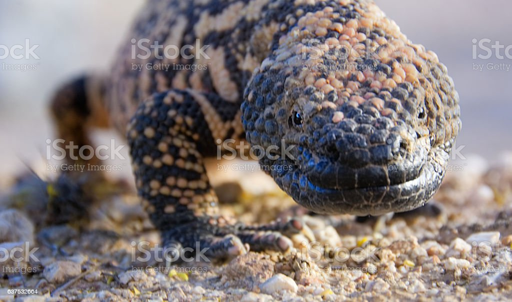 Beady eyed Gila Monster staring straight at you. stock photo