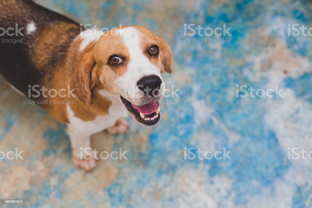 beagle agape stock photo