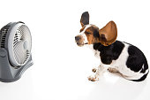 Beagle and Fan with Blowing Ears