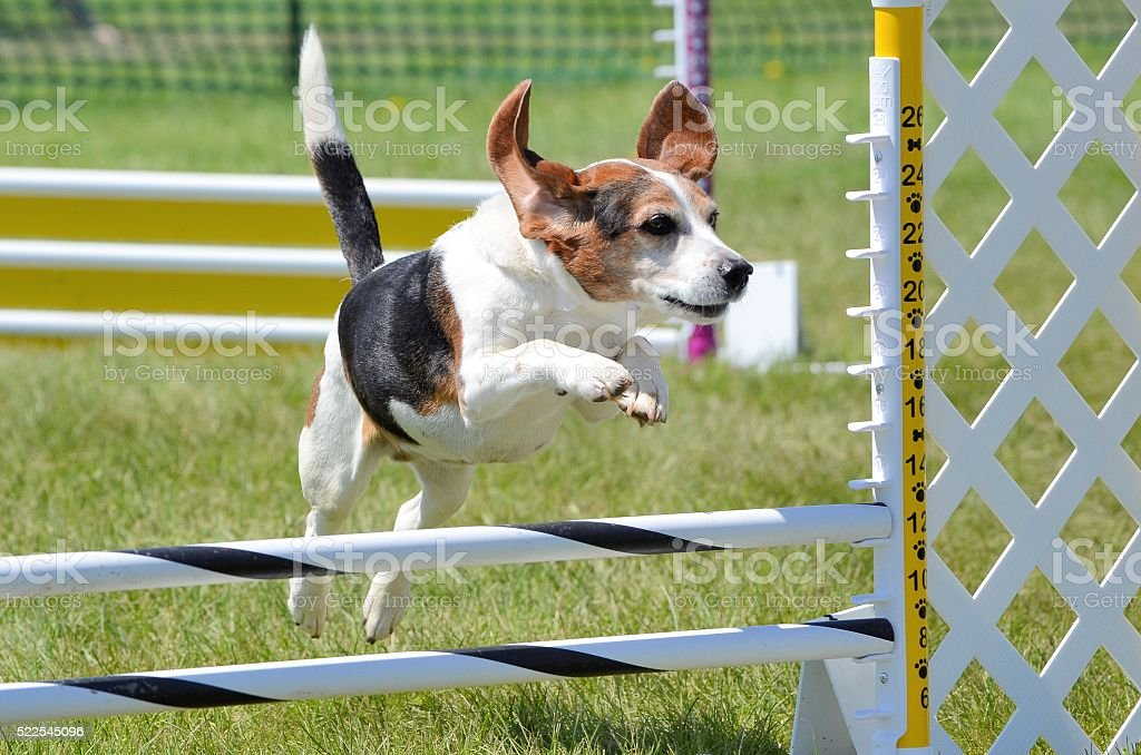 Beagle at a Dog Agility Trial stock photo