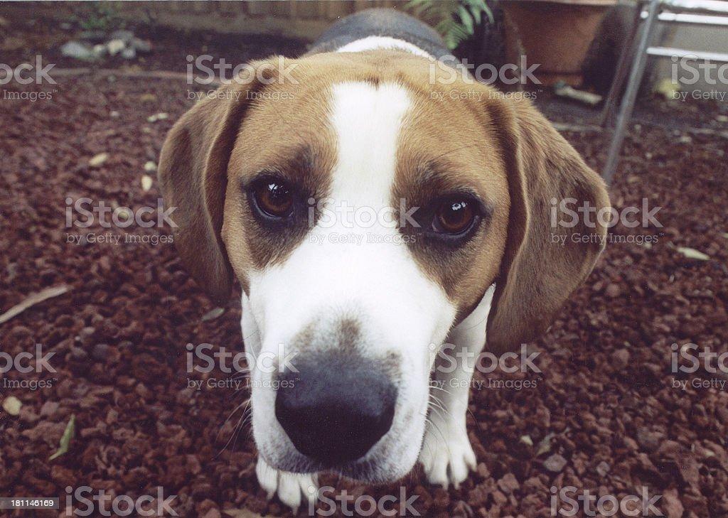 beagle primer plano foto de stock libre de derechos