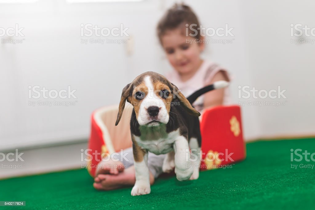 beagle cup new pet of happy girl stock photo