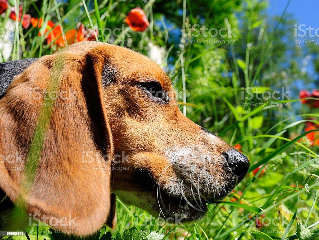 Beagle dog exploring green garden royalty-free stock photo
