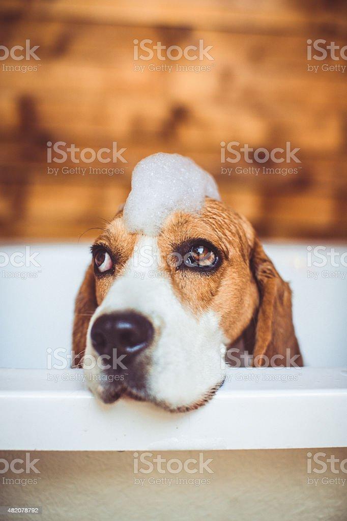 Beagle dog having a bath stock photo