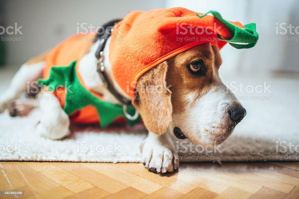 Beagle dog in a pumpkin costume stock photo