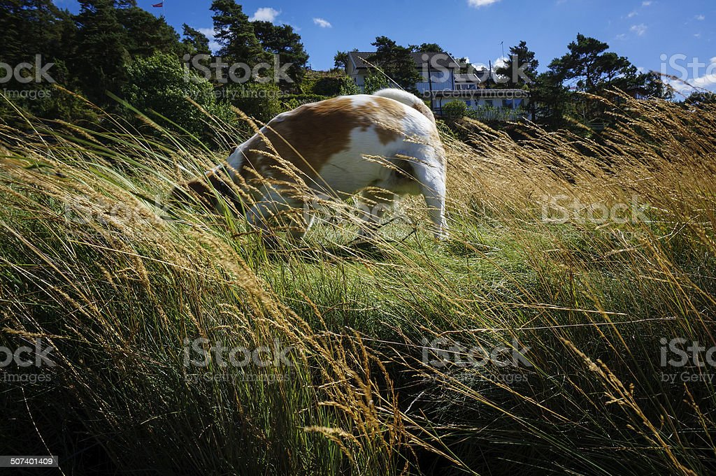 Beagle dog in high grass royalty-free stock photo