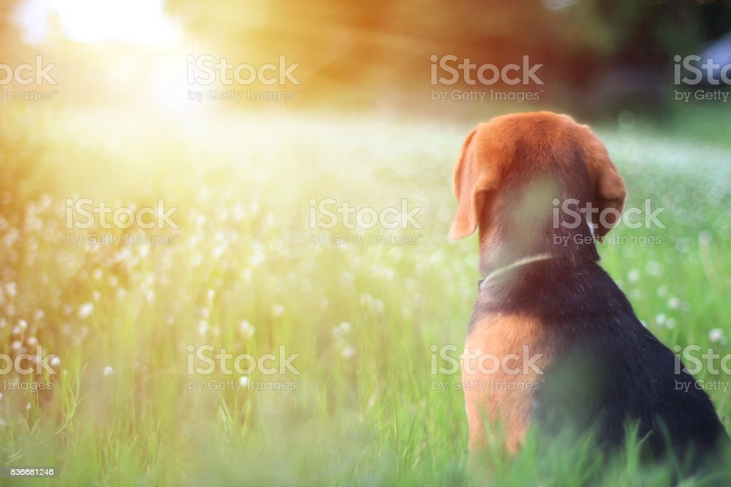 Beagle dog is  sitting in the field. stock photo