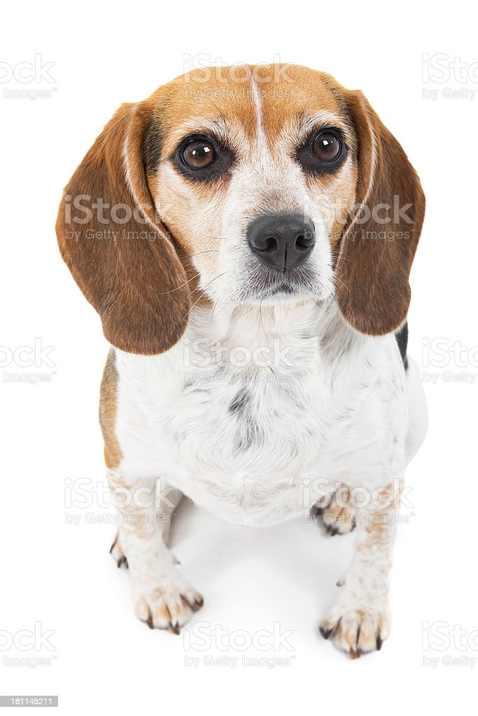 Beagle dog looking at camera royalty-free stock photo