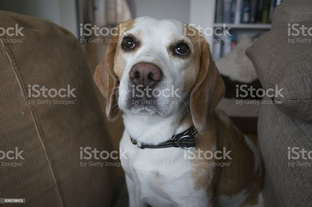 Beagle dog looking royalty-free stock photo