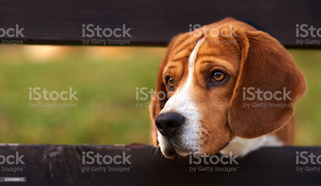 beagle dog looking with sadness away stock photo
