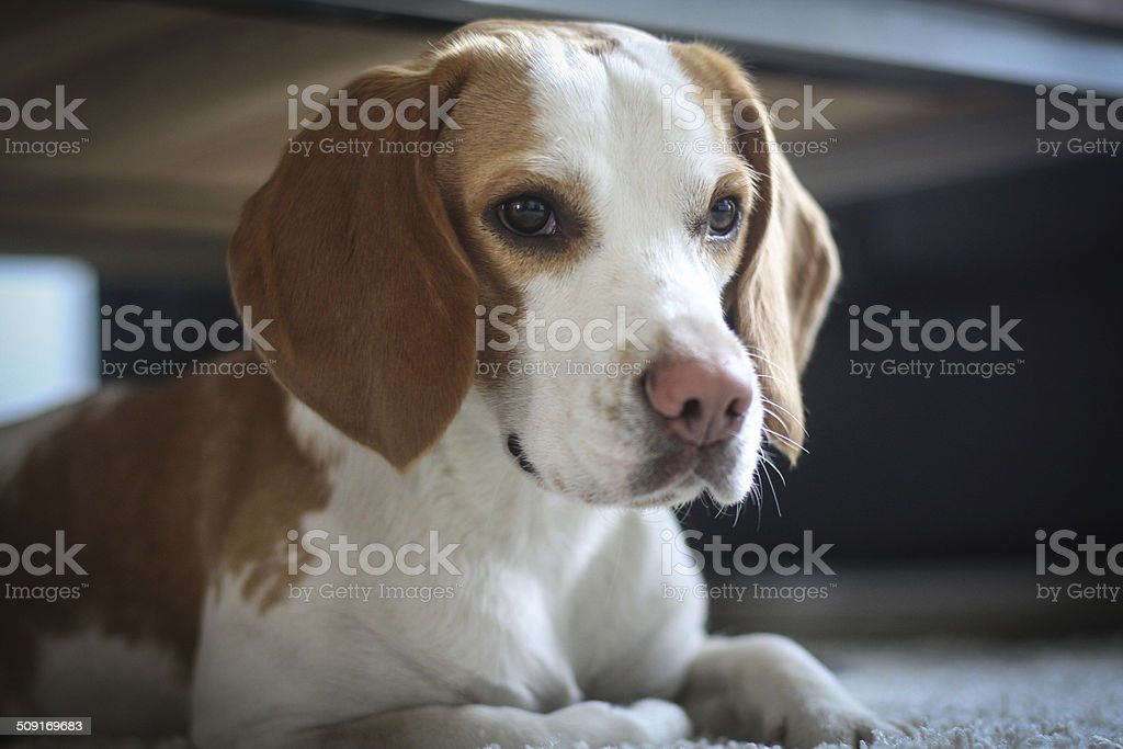 Beagle dog lying under table royalty-free stock photo