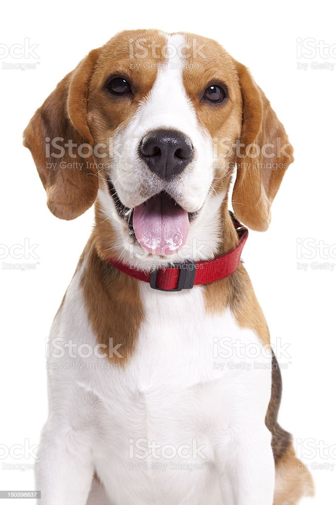 A beagle dog on a white background stock photo