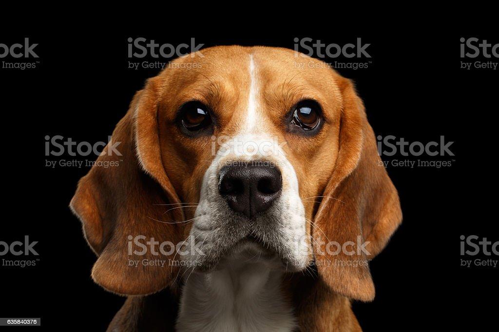 Beagle dog on isolated black background stock photo