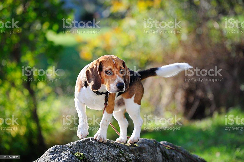 Beagle dog on rock stone in park stock photo