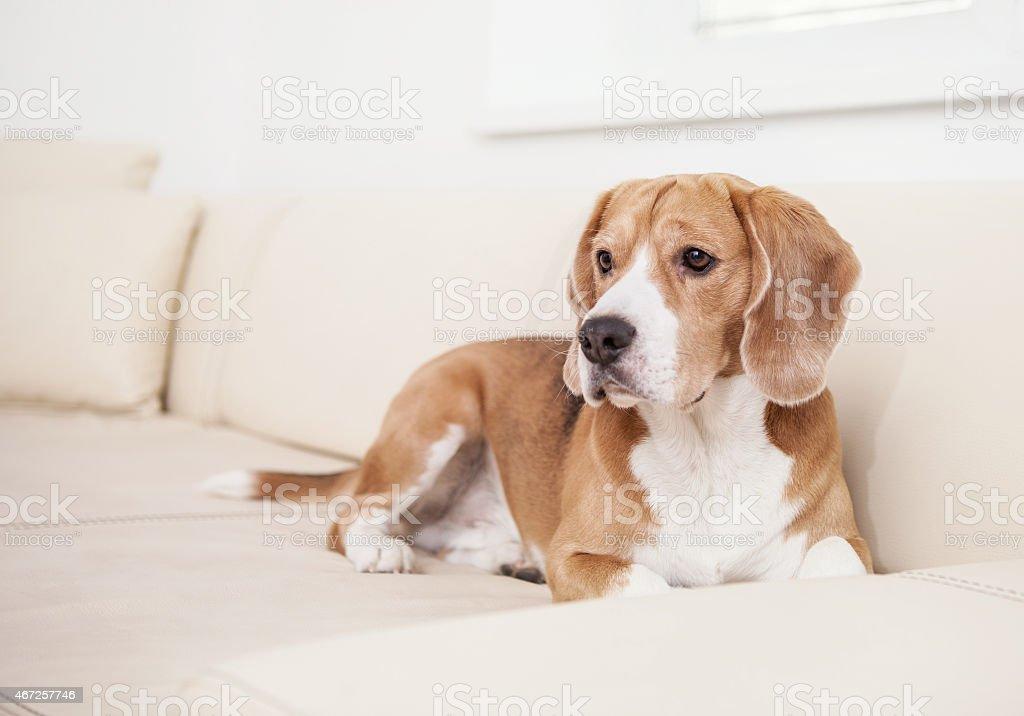 Beagle dog on the white leather sofa stock photo