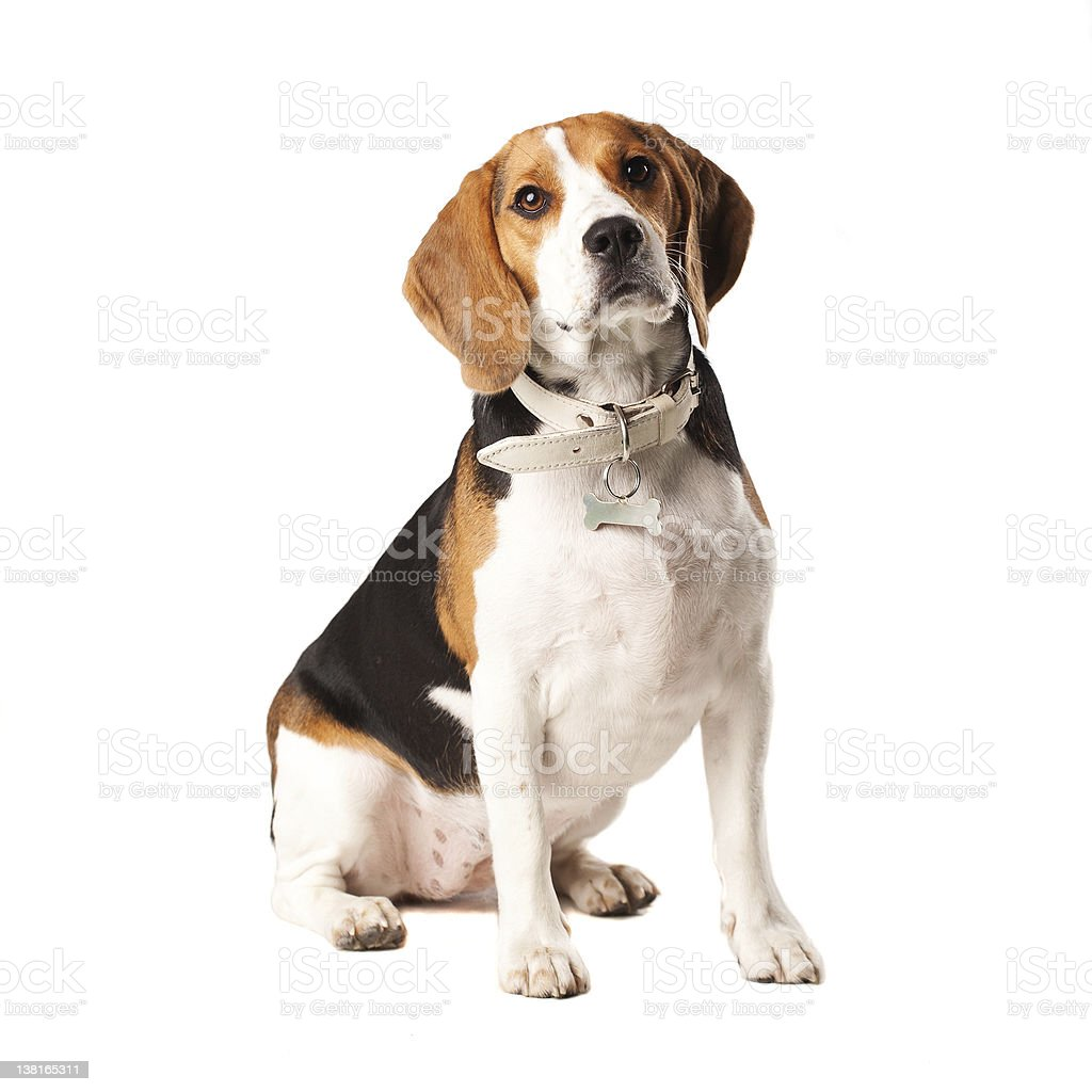 Beagle dog stock photo