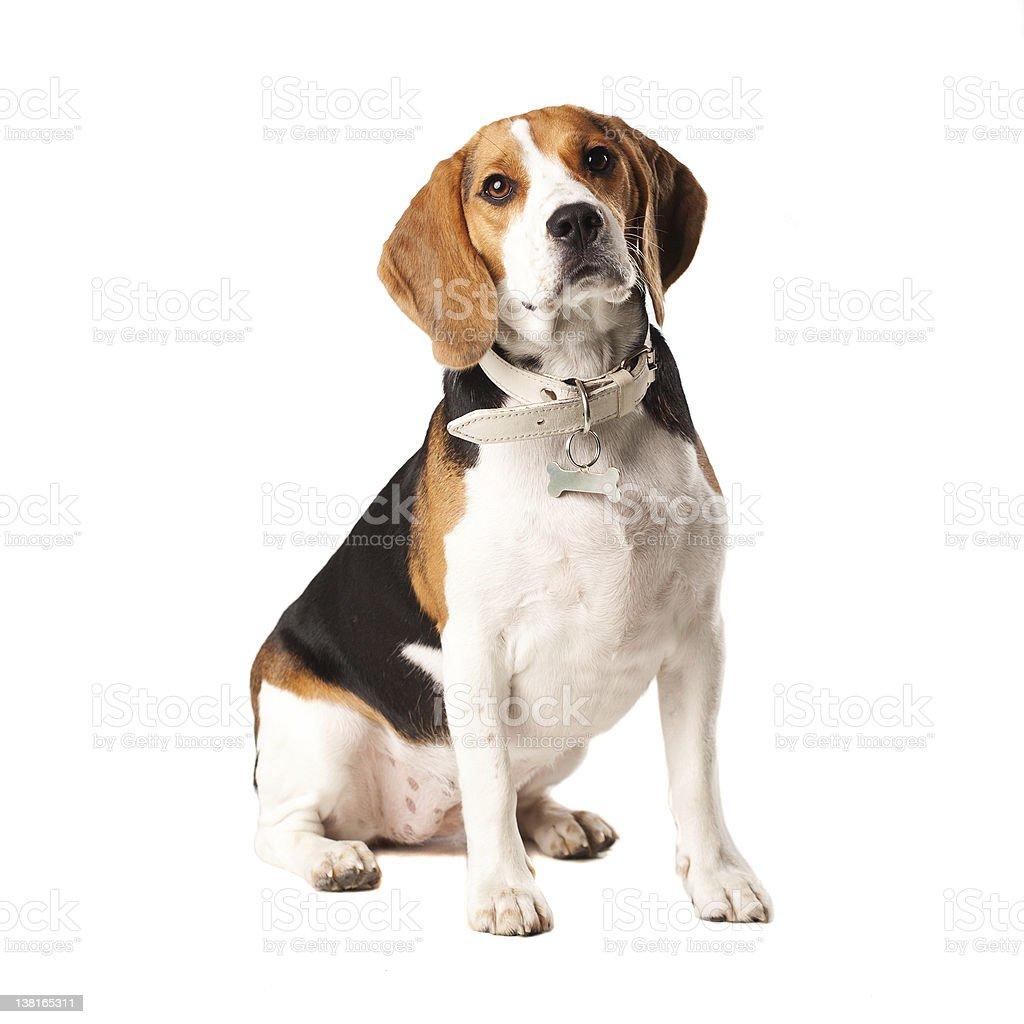 Beagle legal coupons