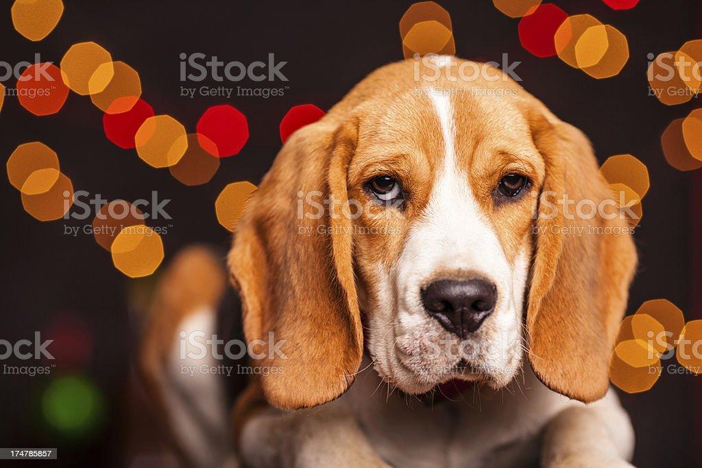 Beagle dog royalty-free stock photo
