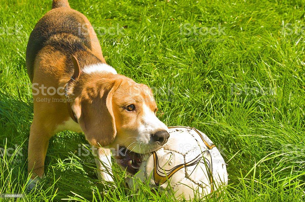 Beagle dog playing ball on grass stock photo