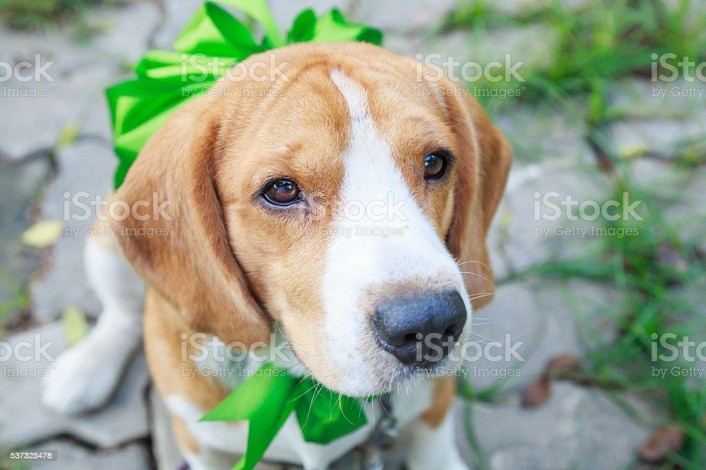 Beagle dog present stock photo