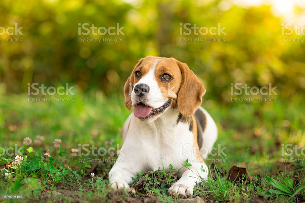 Beagle dog resting in garden stock photo