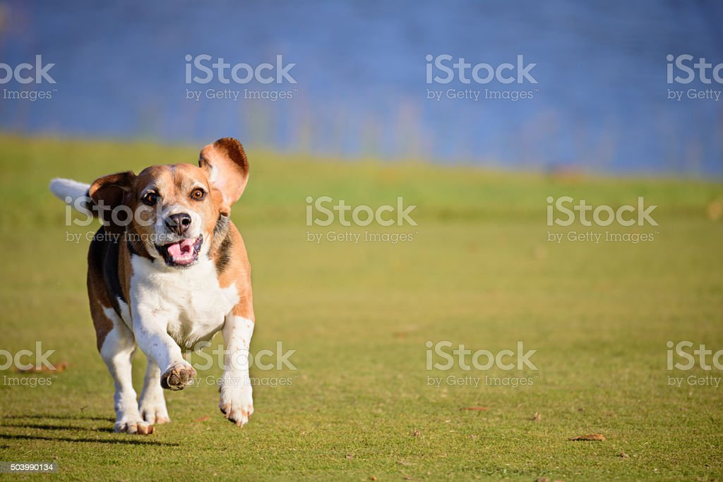 Beagle dog running on grass, flying ears stock photo