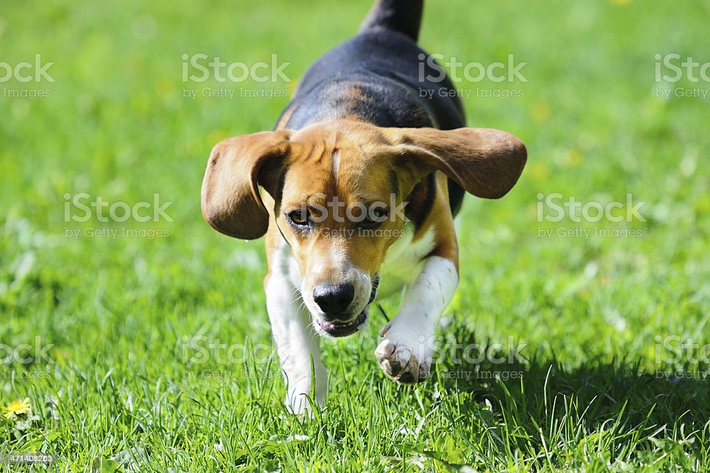 Beagle dog running on grass royalty-free stock photo