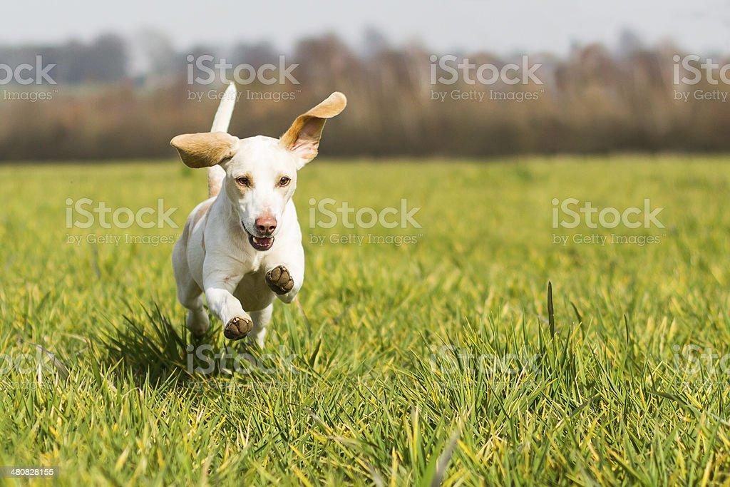 Beagle dog running on grass stock photo