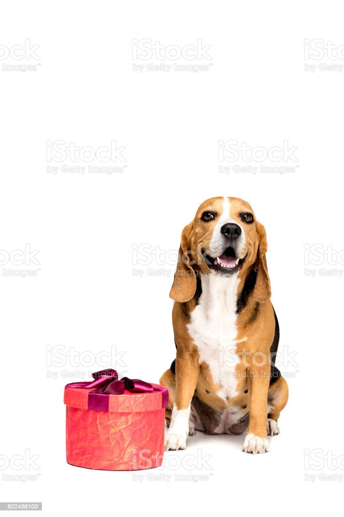 Beagle dog sitting with red present box, isolated on white stock photo