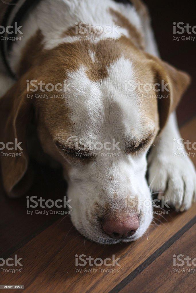 Beagle dog sleeping on wooden floor royalty-free stock photo