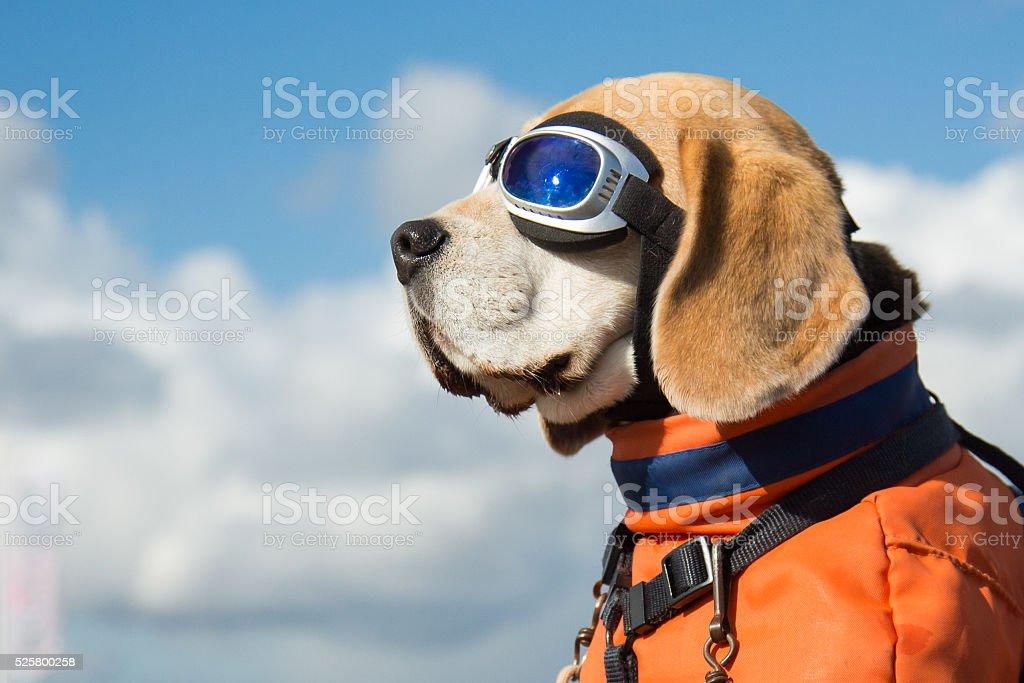 Beagle dog wearing blue flying glasses stock photo